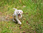 Yellow labrador puppy walking on pathway.