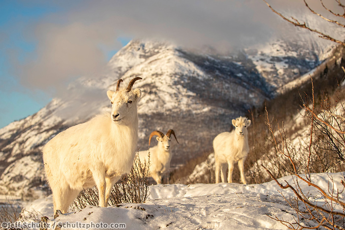 Dall sheep ewe, lamb, ram forage for food in fresh snow in Chugach Mountains. Winter Southcentral, Alaska<br /> <br /> <br /> Photo by Jeff Schultz/  (C) 2020  ALL RIGHTS RESERVED