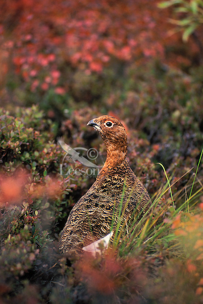 Willow Ptarmigan (Lagopus lagopus) in early fall plumage which provides camouflage against willow leaves and other fall color on the tundra in Denali National Park, Alaska, U.S.A.