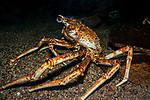 Japanese spider crab full body side-view