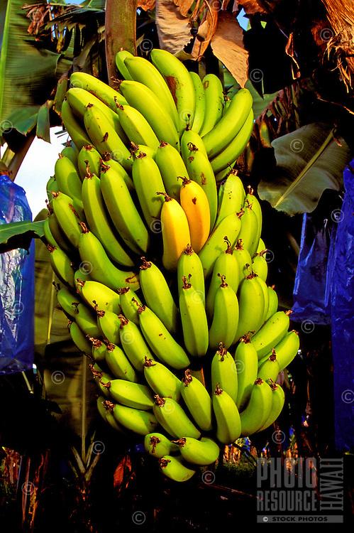 An abundant stalk of ripening bananas on the Big Island of Hawaii.