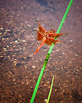 Dragonfly in river while looking at Three Sisters in Sedona Arizona