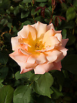 Tuscan Sun Rose, Rosa hybrid, floribunda