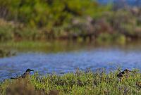Seabird among the mangrove swamp of the water wetland or La Cruz estuary in Kino viejo, Sonora, Mexico. bird, birds<br /> (Photo: Luis Gutierrez / NortePhoto.com).<br /> <br /> Ave marina entre el manglagar del humedal de agua o estero La Cruz en Kino viejo, Sonora, Mexico. ave, pajaros, pájaro<br /> (Photo: Luis Gutierrez / NortePhoto.com).
