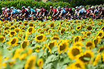 The peloton race by the sunflower fields during Stage 11 of the 2019 Tour de France running 167km from Albi to Toulouse, France. 17th July 2019.<br /> Picture: ASO/Alex Broadway   Cyclefile<br /> All photos usage must carry mandatory copyright credit (© Cyclefile   ASO/Alex Broadway)