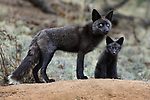 Black Phase Red Fox with Pup