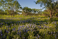 Dynamic field of Spring Bluebonnets and Mesquite Trees grow along Willow City Loop Rd. in the Texas Hill Country