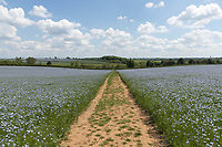 5-6-2021 Public footpath in a flowering crop of linseed <br /> ©Tim Scrivener Photographer 07850 303986<br />      ....Covering Agriculture In The UK....