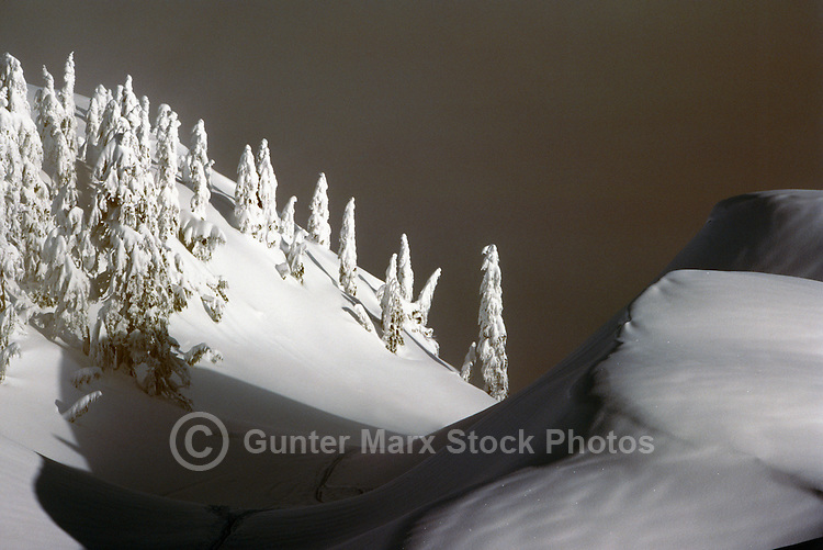 Mount Seymour Provincial Park (Coast Mountains), North Vancouver, BC, Southwestern British Columbia, Canada - Wind Blown Snow Covered Frosted Trees, Winter