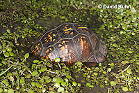 1003-0814  Male Eastern Box Turtle in Water with Watercress [Diving Sequence with 1003-0812, 1003-0813] - Terrapene carolina © David Kuhn/Dwight Kuhn Photography