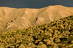 Peruvian Feathergrass (Jarava ichu) growing in dry puna grassland, Abra Granada, Andes, northwestern Argentina