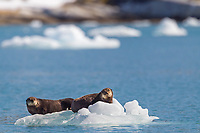 Two sea otters rest on a floating iceberg in Nellie Juan Lagoon, Prince William Sound, Alaska.
