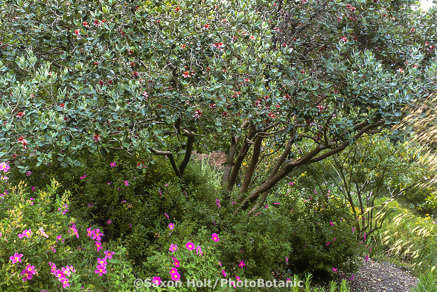 Feijoa sellowiana (Pineapple Guava) pruned as multi-trunk small tree in summer-dry garden