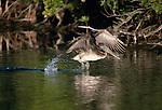 Brown pelican, Ding Darling National Wildlife Refuge, Florida