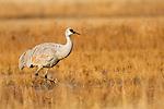 Sandhill Crane (Grus canadensis) wading, Bosque del Apache National Wildlife Refuge, New Mexico
