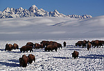 A group of bison forage for food, backdropped by the Tetons on the National Elk Refuge, Wyoming.