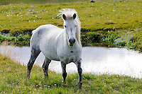 Equus ferus caballus, Island Pferd, weisses Pferd, Schimmel, Grauschimmel, Gray Icelandic horse, Nord Island, North Island