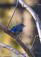 "0105-1003  Eastern Bluebird ""Male"", Silialia Sialis  © David Kuhn/Dwight Kuhn Photography"