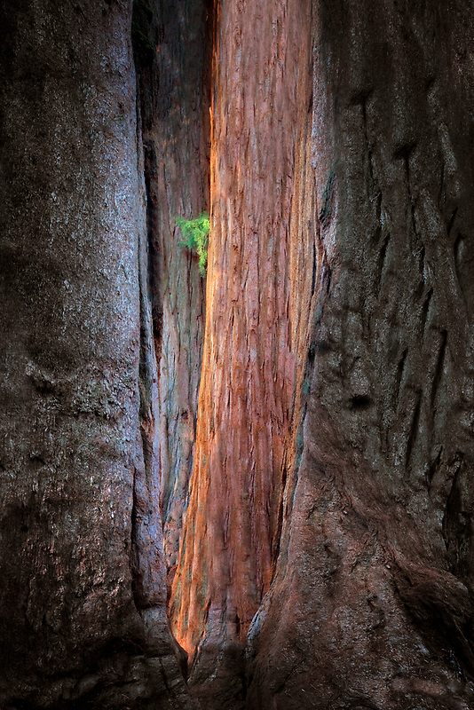 Giant Sequoia (Sequoiadendron giganteum) Sequoia National Park, California