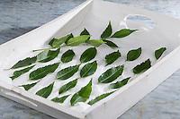 Eschenblätter, Eschenblatt, Blatt, Blätter trocknen, Gemeine Esche, Gewöhnliche Esche, Fraxinus excelsior, Common Ash, European Ash, leaf, leaves