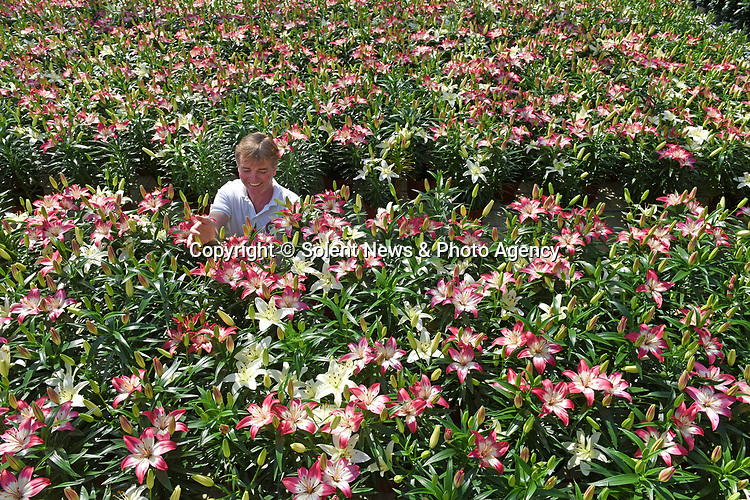 "Pictured:  Rory Paton of Pinetops Nurseries, examines the latest stock of Asiatic mixed planting of Perfect Joy and Sparkling Joy. Perfect Joy is a Pinetops bred pink and white bi-colour.<br /> <br /> Pinetops Nurseries in Lymington, Hants is a family business established in 1959 by the Paton family. The nurseries weekly crop consists of 6,000 oriental lillies and 2,000 hydrangeas, which twins Stuart and Ian nurture and tend to whilst Rory and his mum Jean sell the plants. <br /> <br /> The coronavirus pandemic has stalled sales at the nursery, as the nationwide lockdown has forced the closures of all garden centres. However the nursery has found that the business sales to supermarkets are up on last year.<br /> <br /> Mr Paton said ""With the hydrangeas we've been managing pretty well thanks to the supermarkets we already supply to, but the lillies sales are horrendous - about 90% down.""<br /> <br /> In order to keep the business afloat during the crisis, Rory has had to resort to using the flowers grown at the nursery as compost as they are unable to source the the supplies themselves.  <br /> <br /> ""We end up composting the lillies. If we can't sell it, we've got to bin it, and when they are beautiful and perfect, that's really awful"".