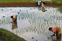 SRI LANKA, Trincomalee, women replant rice in paddy field / Frauen pflanzen Reis