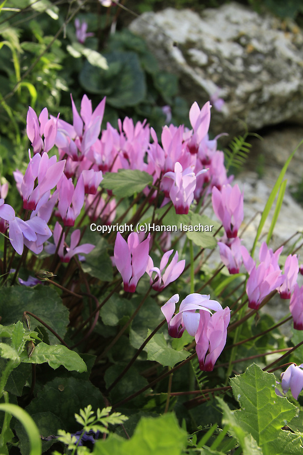 Israel, Jerusalem mountains, Cyclamen flowers in Ein Ksalon