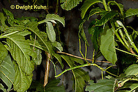 OR07-544z  Walking Stick Insect, juvenile camouflaged on tree, Acrophylla wuelfingi