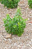 Goblet pruned vines in the vineyard. Slate. Grenache. Domaine Boucabeille, Corneilla la Riviere, Roussillon, France