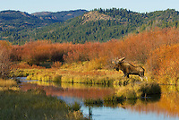 Bull Moose (Alces alces) by old beaver pond surrounded by fall colored willow bushes, Western U.S., fall.