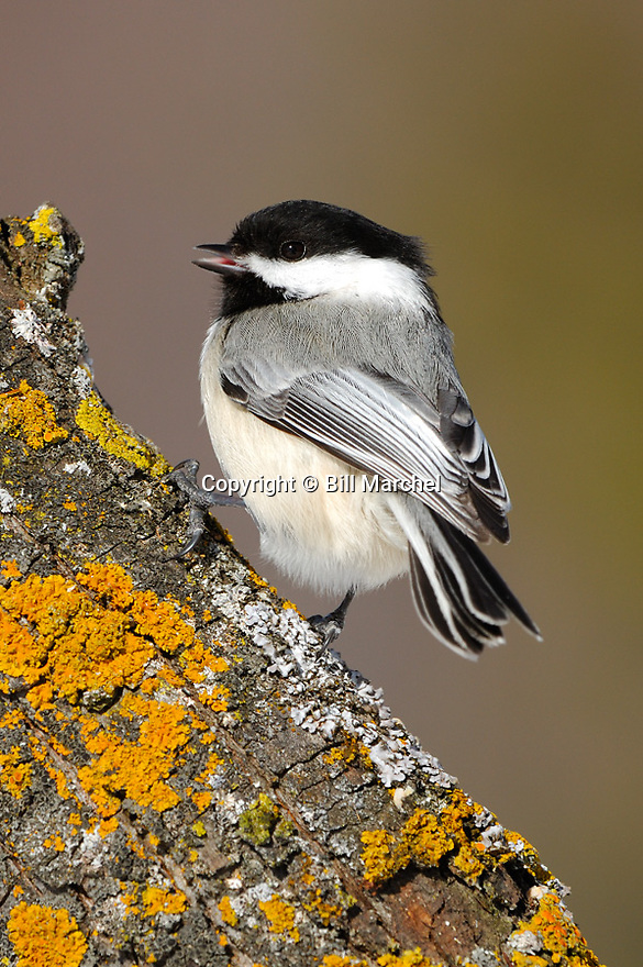 00175-011.12 Black-capped Chickadee (DIGITAL) is singing as it is perched on a tree branch containing colorful lichens.  V3A1