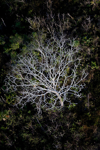 A Ciebo tree in the Mayan Biosphere.