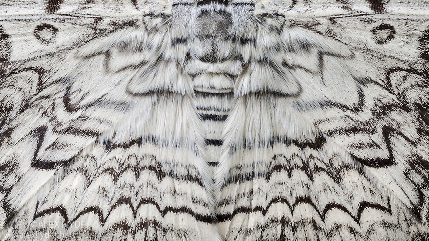 Detail of White Witch Moth (Thysania agrippina) in cloud forest, Manu Biosphere Reserve, Amazonia, Peru.