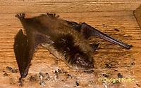 MA20-592z  Little Brown Bats, Myotis lucifugus