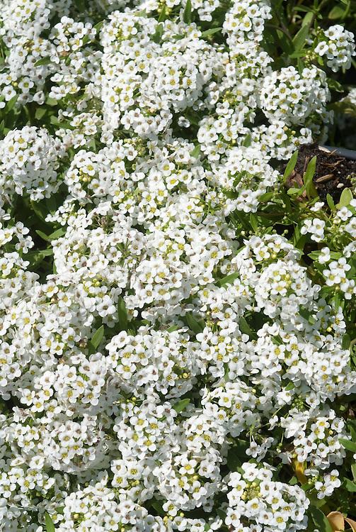 Lobularia (Sweet Alyssum) white flowers in bloom