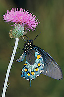Pipevine Swallowtail, Battus philenor, adult on thistle, Uvalde County, Hill Country, Texas, USA, April 2006