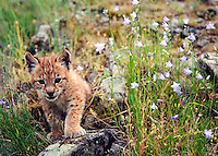 Lynx kitten exploring, with bluebells