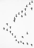 A flock of Snow geese migrates through British Columbia.