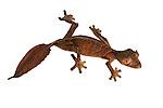 Satanic Leaf-tailed Gecko (Uroplatus phantasticus) on white background. From Ranomafana National Park, Madagascar.