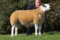 1.9.2020 Texel Sheep Society English National Sale<br /> Lot 335 Sportsman Double Trouble owned by Boden & Davies Ltd sold for 16,000 gns<br /> ©Tim Scrivener Photographer 07850 303986<br />      ....Covering Agriculture In The UK.
