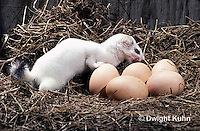 MA09-029x  Short-Tailed Weasel - ermine raiding chicken pen in winter, attempting to eat egg - Mustela erminea