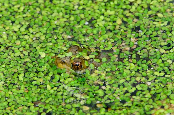 American bullfrog (Lithobates catesbeianus) hiding in duckweed covered pond.