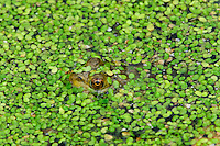 American bullfrog (Lithobates catesbeianus) hiding in duckweed covered pond.