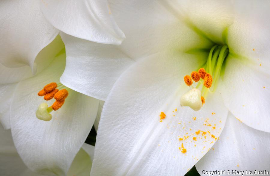 Vashon_Maury Island, WA: White trumpet lily, Lilium longiflorum 'White Heaven'