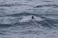 Buckelwal, Finne, Buckel-Wal, Wal, Wale, Megaptera novaeangliae, humpback whale, dorsal fin, La baleine à bosse, la mégaptère, la jubarte, la rorqual à bosse, Walsafari, Walbeobachtung, Island, whale watching, Iceland