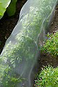 Carrot 'Resistafly', mid June. A tunnel of enviromesh prevents carrot flies from laying their eggs in the soil around the plants.