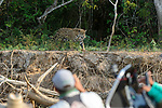 Female Jaguar (Panthera onca palustris) being watched by tourists on a boat on the Cuiaba River. Porto Jofre, northern Pantanal, Mato Grosso State, Brazil.