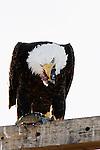 Bald Eagle (Haliaeetus leucocephalus) feeding on fish, Tule Lake National Wildlife Refuge, California