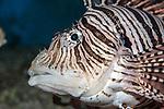 Red Lionfish facing left, medium shot