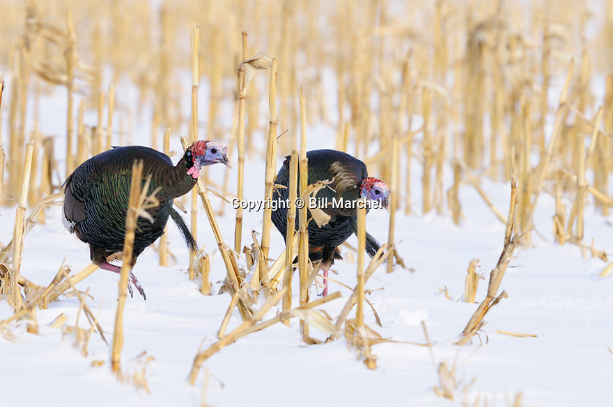 01225-103.11 Wild Turkey: Two toms are feeding in picked corn field after recent snow.  Hunt, scout, feed, food, farm, farming, beard.